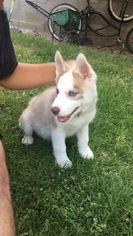 Alaskan Husky Puppy For Sale in WHITTIER, CA
