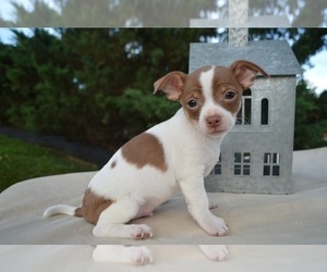 Chihuahua Puppy for sale in HONEY BROOK, PA, USA