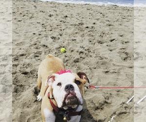 English Bulldog Puppy for sale in ALBUQUERQUE, NM, USA