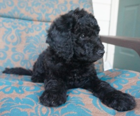 View Ad: Labradoodle Litter of Puppies for Sale near Texas, AUSTIN