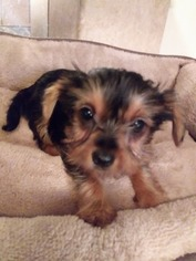 Yorkshire Terrier Puppy For Sale in DELANO, CA