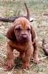 Bloodhound Puppy For Sale in DECATUR, TX, USA