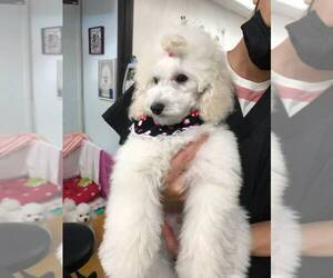 Poodle (Toy) Puppy for sale in WEST COVINA, CA, USA