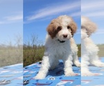 Small #6 Aussiedoodle