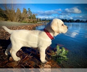 Labrador Retriever Puppy for sale in OCALA, FL, USA