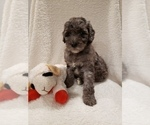 Small #15 Goldendoodle-Sheepadoodle Mix