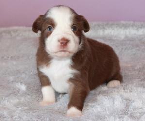 Australian Shepherd Puppy for Sale in STACY, Minnesota USA