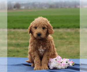 Goldendoodle-Poodle (Standard) Mix Puppy for sale in BIRD IN HAND, PA, USA