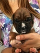 Boxer Puppy For Sale in INDIANAPOLIS, Indiana,