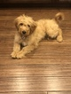 Goldendoodle Puppy For Sale in ROCHESTER, IL, USA