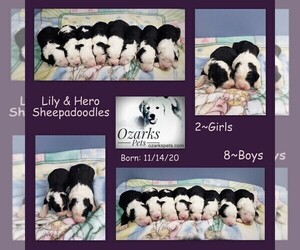 Sheepadoodle Puppy for sale in CEDAR GAP, MO, USA