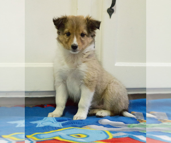 Medium Photo #1 Shetland Sheepdog Puppy For Sale in MILWAUKEE, WI, USA
