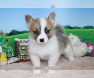 Pembroke Welsh Corgi Puppy for sale in CHICAGO, IL, USA