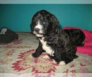 Poodle (Standard) Puppy for sale in CHETEK, WI, USA