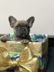 French Bulldog Puppy For Sale in REDLANDS, CA, USA