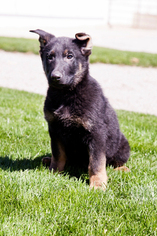 German Shepherd Dog Puppy For Sale in FORT WAYNE, IN
