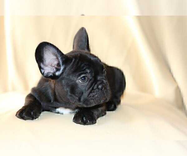 Full screen Photo #1 French Bulldog Puppy For Sale in LONGWOOD, FL, USA