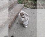 Small Photo #3 Australian Shepherd Puppy For Sale in NIANGUA, MO, USA