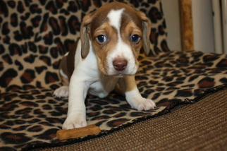 Beagle Puppy For Sale in CROGHAN, NY, USA