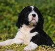 English Springer Spaniel Puppy For Sale in RENICK, WV, USA