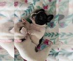Small Photo #4 French Bulldog Puppy For Sale in SAN DIEGO, CA, USA