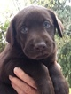 Labrador Retriever Puppy For Sale in ALL HEALING SPRINGS, NC, USA