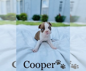 Boston Terrier Puppy for Sale in COOKEVILLE, Tennessee USA