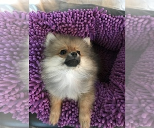 Pomeranian Puppy for Sale in SCOTTSDALE, Arizona USA