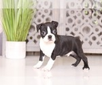 Spike Dapper Boston Terrier