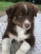 Australian Shepherd Puppy For Sale near 43787, Stockport, OH, USA