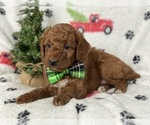 Small #7 Goldendoodle-Poodle (Miniature) Mix
