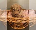 Small #5 Sheepadoodle