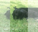Small Photo #7 Labrador Retriever Puppy For Sale in FRUITPORT, MI, USA