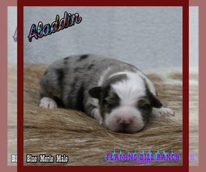 Miniature Australian Shepherd Dog for Adoption in FORESTBURG, Texas USA