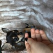 Chihuahua Puppy For Sale in HOUSTON, TX