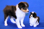 Shetland Sheepdog Puppy For Sale in JACKSONVILLE, FL, USA