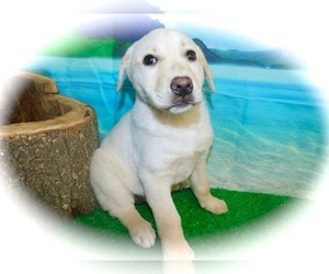Collie-Labrador Retriever Mix Puppy for sale in HAMMOND, IN, USA