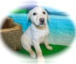 Small Collie-Labrador Retriever Mix