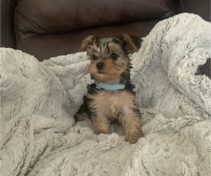 Yorkshire Terrier Puppy for sale in TURLOCK, CA, USA