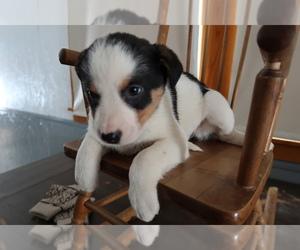 Australian Cattle Dog Puppy for sale in ADRIAN, MI, USA