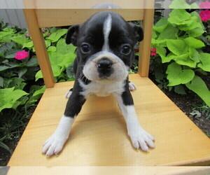 Boston Terrier Puppy for sale in MOUNT PLEASANT, MI, USA
