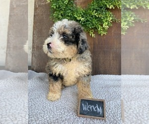 Bernedoodle-Poodle (Toy) Mix Puppy for Sale in GRABILL, Indiana USA