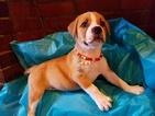 Boxador Puppy For Sale in SPRING, TX, USA