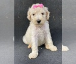 Small Photo #2 Goldendoodle-Poodle (Standard) Mix Puppy For Sale in HANFORD, CA, USA