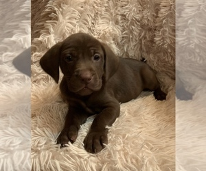 Labmaraner-Weimaraner Mix Puppy for sale in PHILIPSBURG, MT, USA