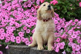 Golden Retriever Puppy For Sale in FREDERICKSBURG, OH, USA