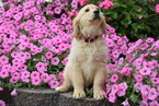 Golden Retriever Puppy For Sale in FREDERICKSBURG, OH,