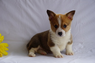 Pembroke Welsh Corgi Puppy for sale in FREDERICKSBG, OH, USA