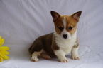 ACA Pembroke Welsh Corgi For Sale Sugarcreek OH