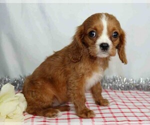 Cavalier King Charles Spaniel Dog for Adoption in FREDERICKSBG, Ohio USA